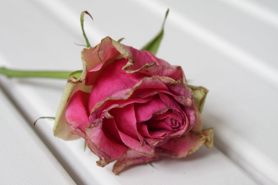 rose-916161_1920