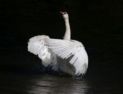 swan-2428664_960_720