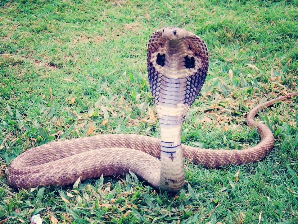 king-cobra-405623_960_720